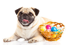 Pug dog easter eggs  isolated on white background Royalty Free Stock Photo