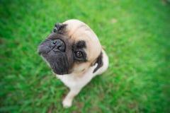 Pug dog eyes head looks funny . Stock Photo
