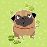 Pug dog finds the money, background with bones. The pug dog finds the money, light green background with bones Royalty Free Stock Images