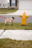 Pug dog at fire hydrant. Here is a pug dog looking longingly at a fire hydrant Royalty Free Stock Images