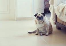 Pug dog Royalty Free Stock Images