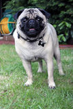 Pug Dog in a garden Stock Images