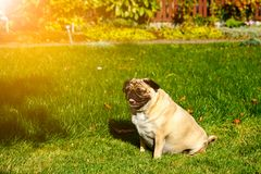 Pug dog in the garden. Pug dog snooze in sun rays sitting in a garden Royalty Free Stock Image