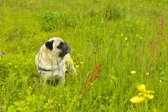 Pug dog in the grass. stock images
