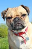 Pug dog head close up Royalty Free Stock Photography