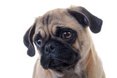 Pug Dog Head Closeup. Adorable Pug Dog over white background, Head closeup, Horizontal shot Royalty Free Stock Images