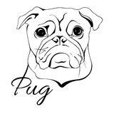 Pug dog head Stock Photography