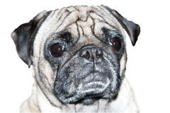 Pug Dog Head Shot Stock Photography