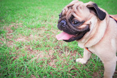 Pug dog head side seats and the tongue on the grass green. Pug dog head side seats and the tongue on the grass green in morning day Stock Photo