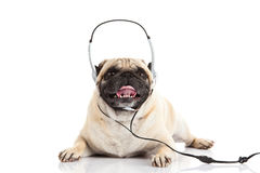 Pug dog with headphone on white background callcenter. Worker pet domestic animal image royalty free stock images