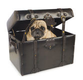 Pug dog hiding in vintage chest Royalty Free Stock Photo