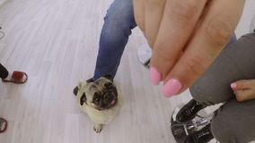 Pug dog indoors stock video footage