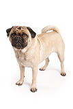 Pug Dog Isolated on White Stock Photography