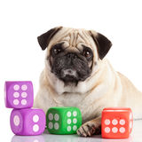 Pug dog Stock Image