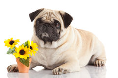 Pug dog isolated on a white background Royalty Free Stock Photography