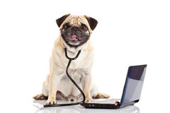 Pug dog isolated on white background doctor mit laptop Royalty Free Stock Image
