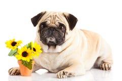 Pug dog  isolated on white background, flowers sunflowers Stock Photography