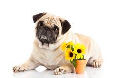 Pug dog  isolated on white background, flowers sunflowers Stock Images