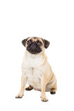 Pug dog isolated on white background. He is sitting watching with interest royalty free stock images