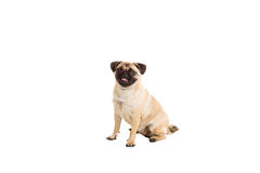 Pug dog isolated on white background. He is sitting watching with interest royalty free stock photos