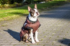 Pug dog with jacket on a cold winter morning Royalty Free Stock Images