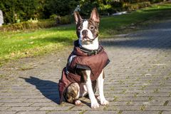 Pug dog with jacket on a cold winter morning Stock Photography