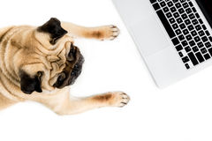 Pug dog with laptop, isolated on white Royalty Free Stock Photography