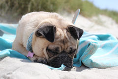 Pug Dog laying asleep on a beach Royalty Free Stock Images