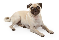 Pug Dog Laying Down Royalty Free Stock Images
