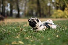 Pug dog laying on the grass Stock Photos