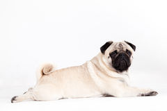 Pug dog lays down. Happy dog photographed in the studio on a white background royalty free stock images