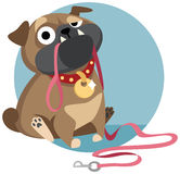 Pug with dog-lead asking for a walk. Sad pug puppy sitting with dog-lead in its mouth and asking for a walk. Cartoon character. Vector illustration. Flat Royalty Free Stock Photos