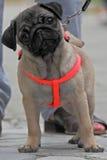 Pug dog on leash Stock Images
