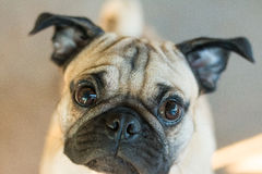 Pug Dog and lighting Royalty Free Stock Photos
