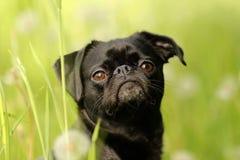 Pug, Dog Like Mammal, Dog, Dog Breed Stock Photography