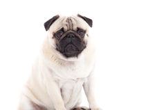 Pug dog is looking. Happy dog photographed in the studio on a white background royalty free stock images