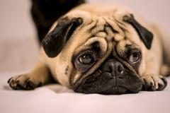 Pug dog looking sad lying down. Pug dog looking sad pink background Royalty Free Stock Images