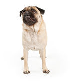 Pug Dog Looking Up Royalty Free Stock Photo