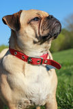 Pug dog looking up head shot Royalty Free Stock Images
