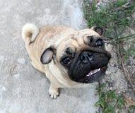 Pug dog Stock Photo