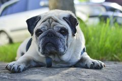 Pug dog lying on a road. On a clear summer day royalty free stock image