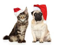 Pug dog and Maine Coon kitten together in Santa red hats stock image