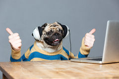 Pug dog with man hands in headphones showing thumbs up. Funny pug dog with man hands in striped sweater in headphones with laptop showing thumbs up over grey royalty free stock image