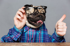 Pug dog with man hands in shirt and glasses Stock Photos