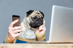 Pug dog with man hands using laptop and cell phone. Thoughtful pug dog with man hands in sweater using laptop and cell phone over grey background royalty free stock photo