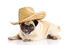 Pug dog mexican hat isolated on white background lying dog Stock Photo