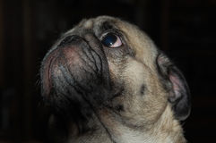 Pug-dog Muzzle. Closeup image of light brown pug-dog looking in upper direction Stock Image