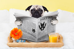 Pug dog newspaper Stock Photos