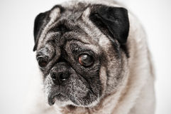 Pug dog with one bad eye. A closeup of pug dog with one bad eye on white Stock Images