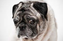 Pug dog with one bad eye Stock Images